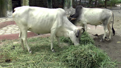 Cattle eating grass Stock Footage