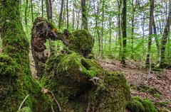 Old stump in the forest covered with moss and one mushroom Stock Photos