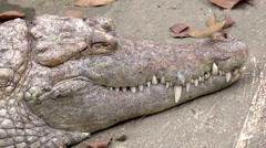 Crocodile head Stock Footage