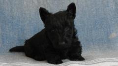 Scottish Terrier puppy Stock Footage