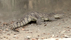 Crocodile on ground Stock Footage