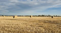 Straw bales wait stacking in a stubble field. Stock Photos