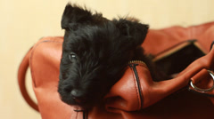 Scottish Terrier puppy in Handbags Stock Footage