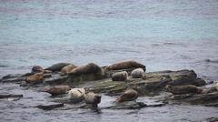 Stock Video Footage of Grey Seals resting on a rocky shore.