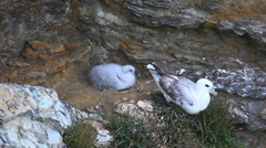 Nesting Northern Fulmar, Fulmarus glacialis, from Scotland Stock Footage