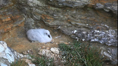 Northern Fulmar Nesting, Fulmarus glacialis, in Orkney Stock Footage