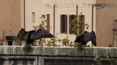 Cormorants drying their feathers in Rome, Italy Stock Footage