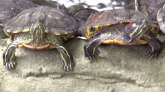 Stock Video Footage of red-eared slider turtle