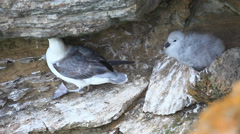 Nesting Northern Fulmar, Fulmarus glacialis, in Orkney, Scotland Stock Footage