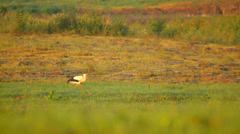 One white stork searching for food in the meadow in the country Stock Footage