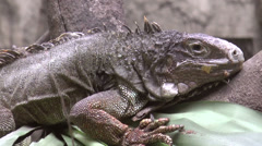 Green iguana close up Stock Footage