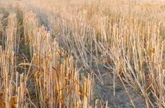wheat stubble close-up - stock photo