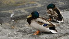 Ducks Cleaning Feathers Stock Footage