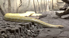 Stock Video Footage of albino snake