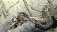 Stock Video Footage of python crawling