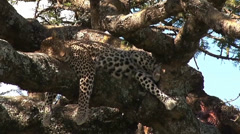 Leopard sleeps after feeding on kill Stock Footage