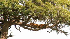 Two lionesses sleep in a tree Stock Footage