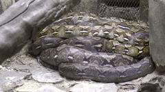 Huge python resting Stock Footage