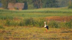One white stork walking in meadow in the rural landscape Stock Footage