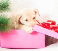 Puppy gnaws  gift box Stock Photos