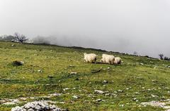 Group of sheep high in the mountain - stock photo