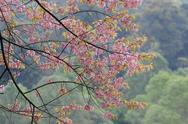 Stock Photo of pink sakura tree in forest
