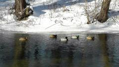 Wild ducks floating on the winter river Stock Footage