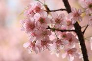 Stock Photo of close up detail  pink sakura