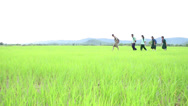Stock Video Footage of Asian Teenagers Walking Through A Rice Field