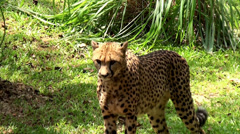 Wild Cheetah Stock Footage