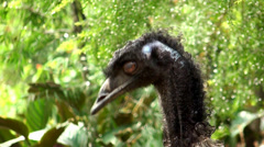Emu (Dromaius novaehollandiae). Stock Footage
