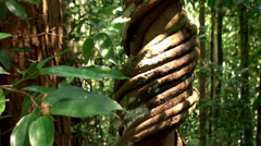 Tree entwined with lianas in the jungle. - stock footage