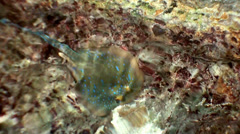 Blue Stingray in the shallows. Stock Footage