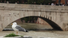 Seagull looks around near a bridge in Rome, Italy 2 Stock Footage