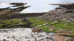 North Ronaldsay Sheep in Orkney, Scotland Stock Footage