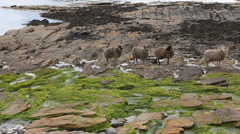 A view of North Ronaldsay Sheep in Orkney, Scotland Stock Footage