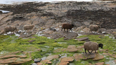 Sheep from North Ronaldsay, Orkney, Scotland Stock Footage