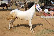 Stock Photo of white stallion at pushkar camel fair