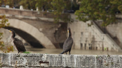Cormorants on a ruin in Rome, Italy Stock Footage