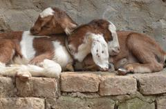 Resting lambs Stock Photos