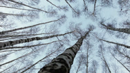 Stock Video Footage of Head up view on to the birch tops: wind moves trunks of russian trees