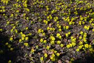 Stock Photo of winter aconite, eranthis hyemalis