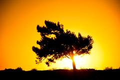 silhouette of a tree in the rays of the rising sun - stock photo