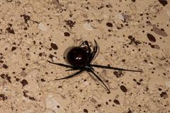 Black Widow Spider on ground. - stock photo