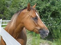 Stock Photo of chestnut horse in profile