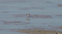 Three-banded Plover feeding in shallow water Stock Footage