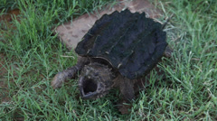 Alligator Snapping Turtle chasing the camera Stock Footage