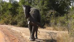 Elephant threatening posture Stock Footage
