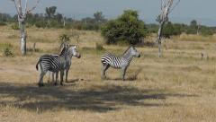Crawshay's Zebra in Zambia wagging their tails Stock Footage