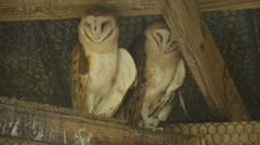 Two  owls in a barn - stock footage